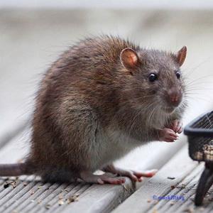 rat_1