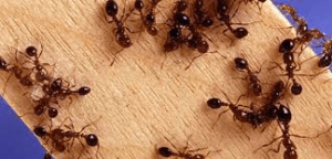 Désinsectisation des fourmis Paris 5
