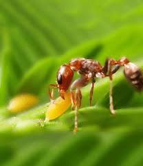 Désinsectisation des fourmis Paris 95