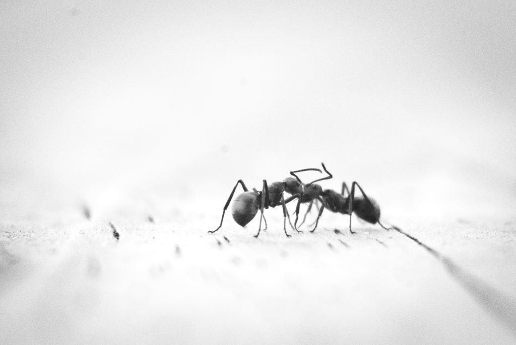 invasion fourmis