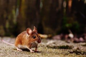 Dératisation et traitement des souris à Paris